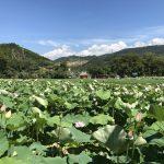 Lotus. Nan Chang. Fujian.